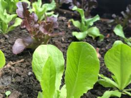 Das Bild zeigt kleine Salatpflanzen in einem Beet.